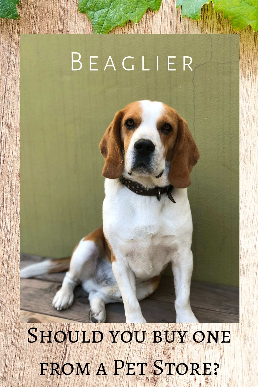 Buying A Beaglier Puppy From A Pet Store Pet Store Puppies Pets