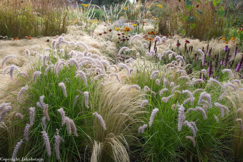 In Front Pennisetum Orientale Karley Rose Garten Inspiration