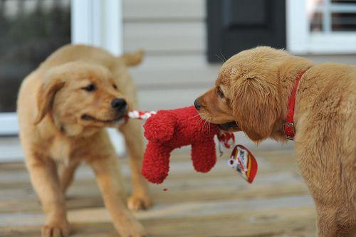 It S Mine No It S Mine Animals Cute Animals Puppy Play