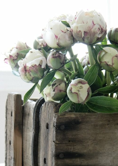 love elegance of peonies with rustic container