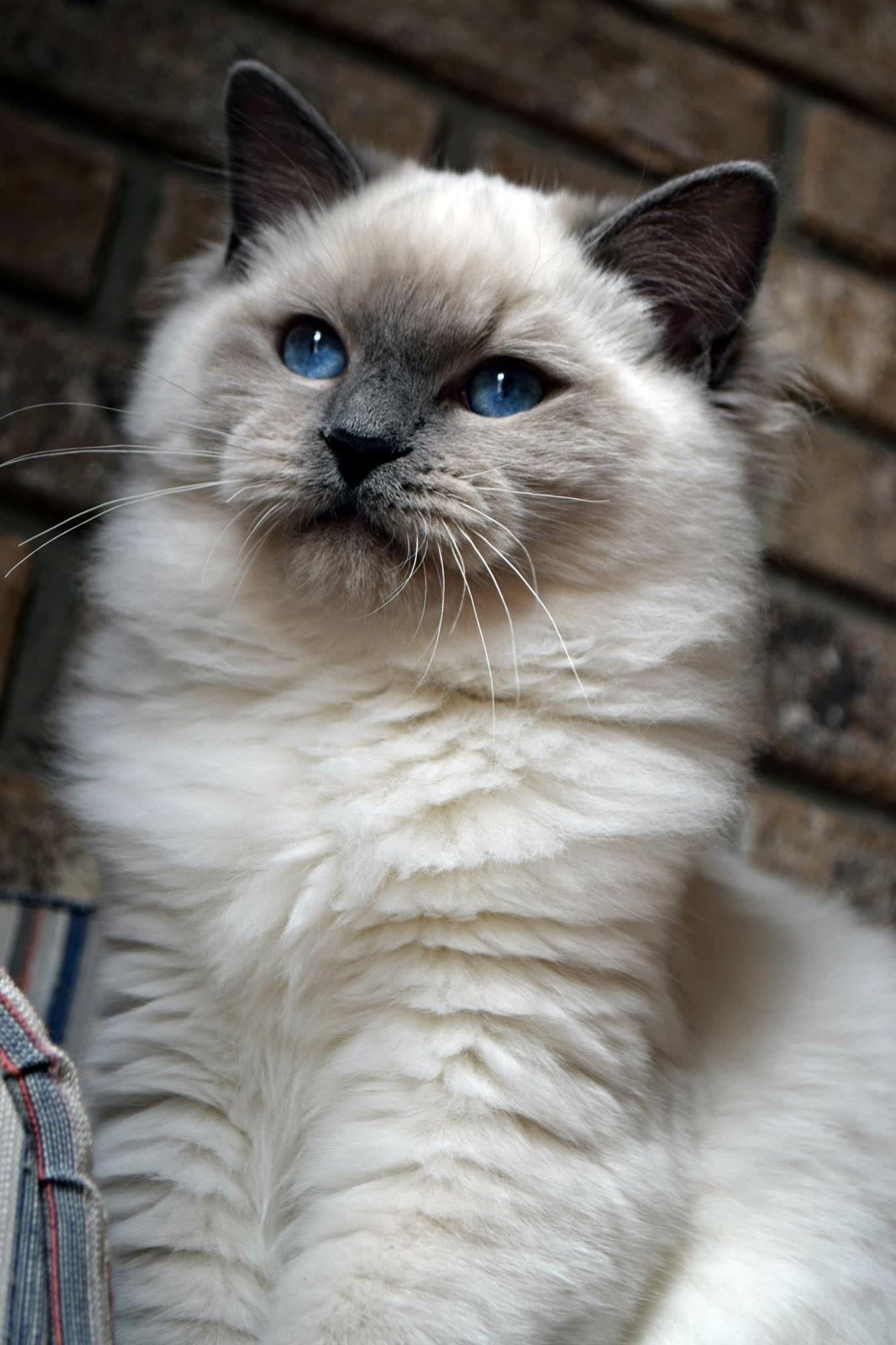 Blue Point Ragdoll Ohemgee Spider Ohemgee Cats Cat Fluffycat Ragdolls Ragdoll Kittens Blueragdoll Bluepoint Bluee Cats Blue Point Ragdoll Tabby Cat