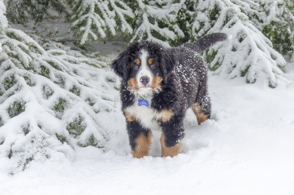 Bernese Mountain Dog Winter Snow Animal Wallpaper Sneeuw