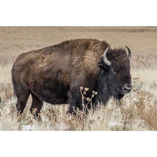 The Bison #bison #AntelopeIsland #buffalo #tlwilsonphoto #tlwilsonphotography http://smu.gs/1KOlW4V