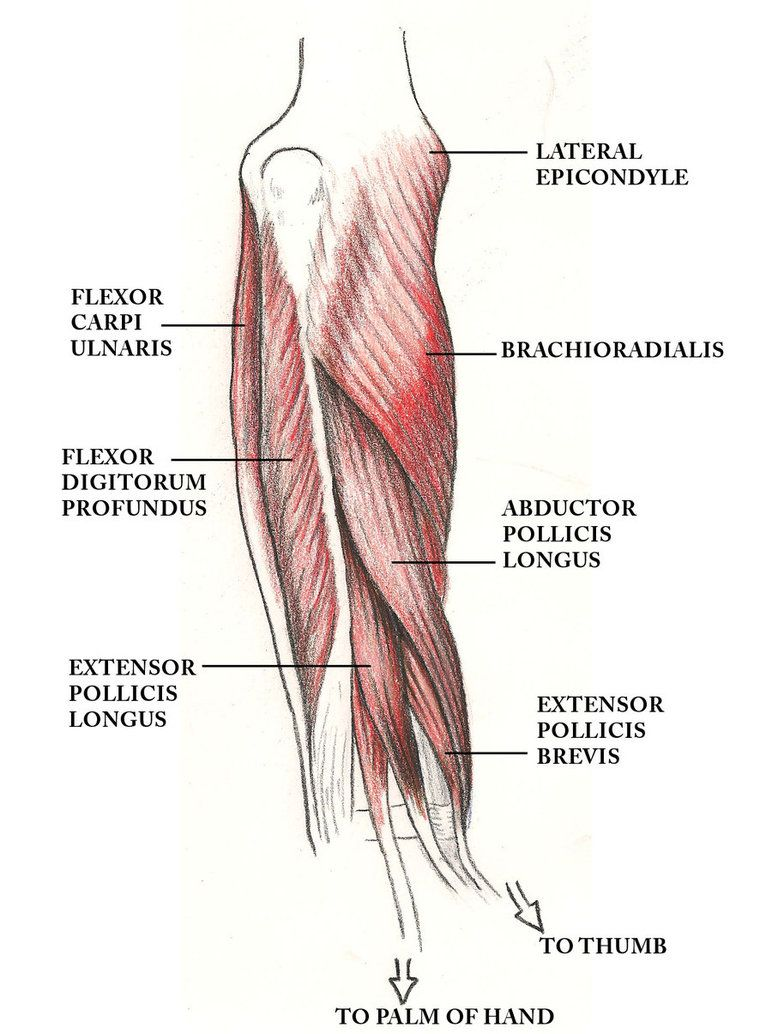 muscles of the arm such as the biceps brachii have what innervation