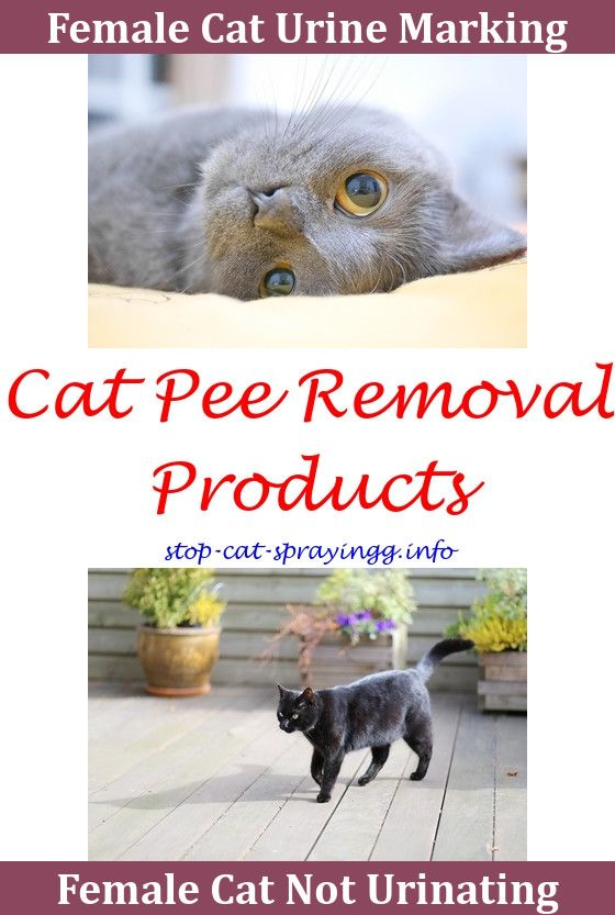 My Cat Keeps Spraying How To Get Cat Urine Smell Out Of Furniture,cat  Spraying No More Cat Urine Smell Out Of Couch Cat Urine Essential Oils What  Gu2026