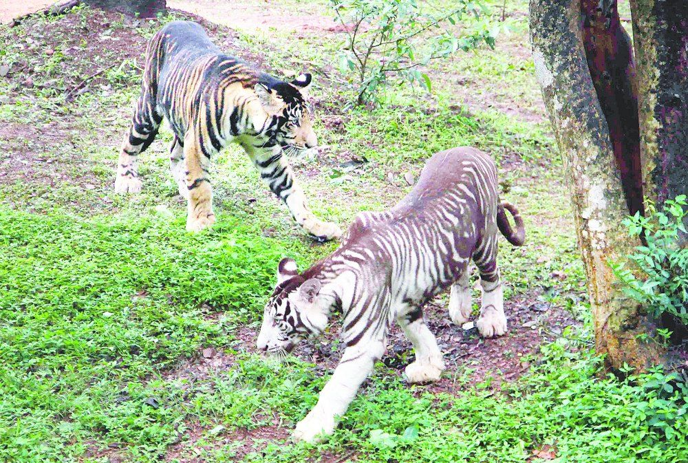 The Melanistic Cubs At A Public Display Enclosure In Nandankanan On Tuesday Description From Telegraphindia Com I Search Melanistic Zoo In India Black Tigers
