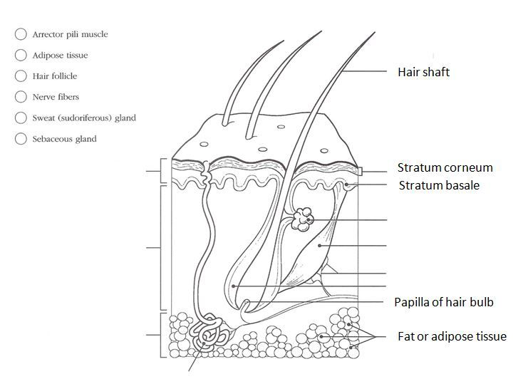 Worksheets Skin Diagram To Label skin diagram worksheet mysticfudge bartradicionalluna
