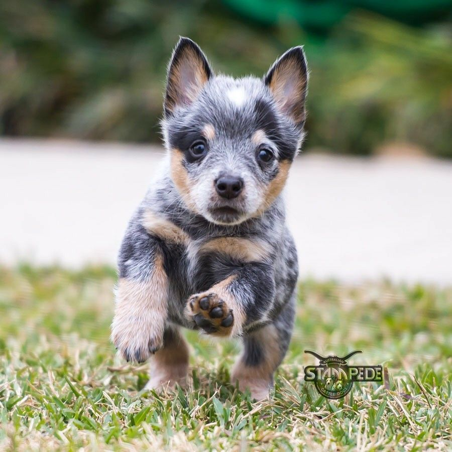 What A Cutie Pie Blue Heeler With