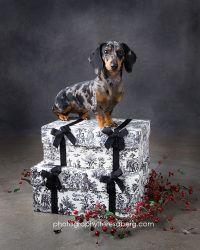 Adopt Reesie On Dachshund Puppies For Sale Doxie Puppies