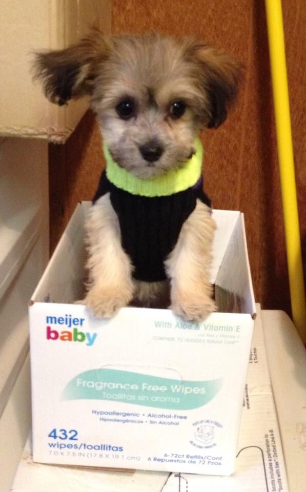 Yorkiebichon Mix Too Adorable For Words Pinterest Yorkie