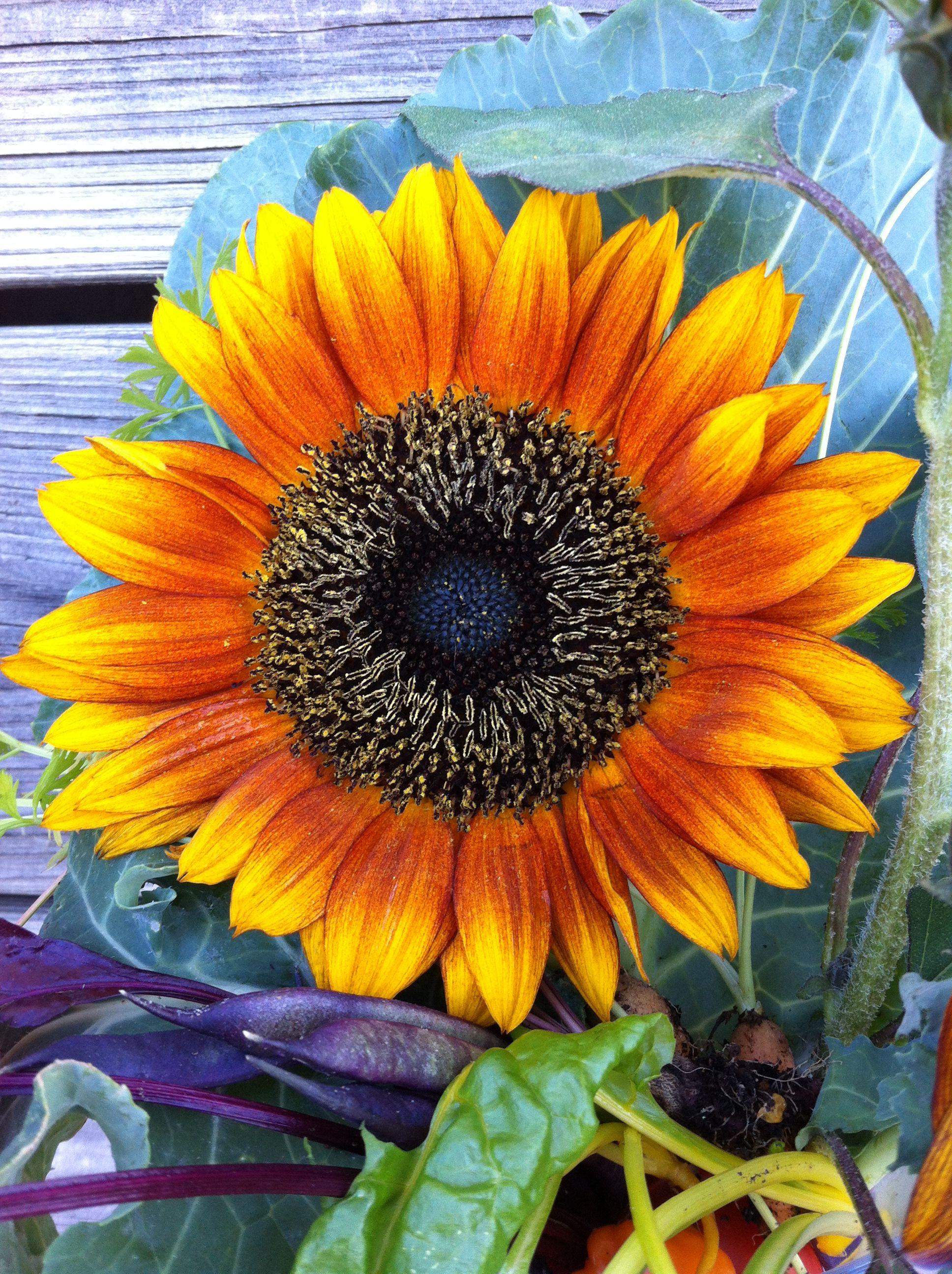 Sunflower! Garden harvest