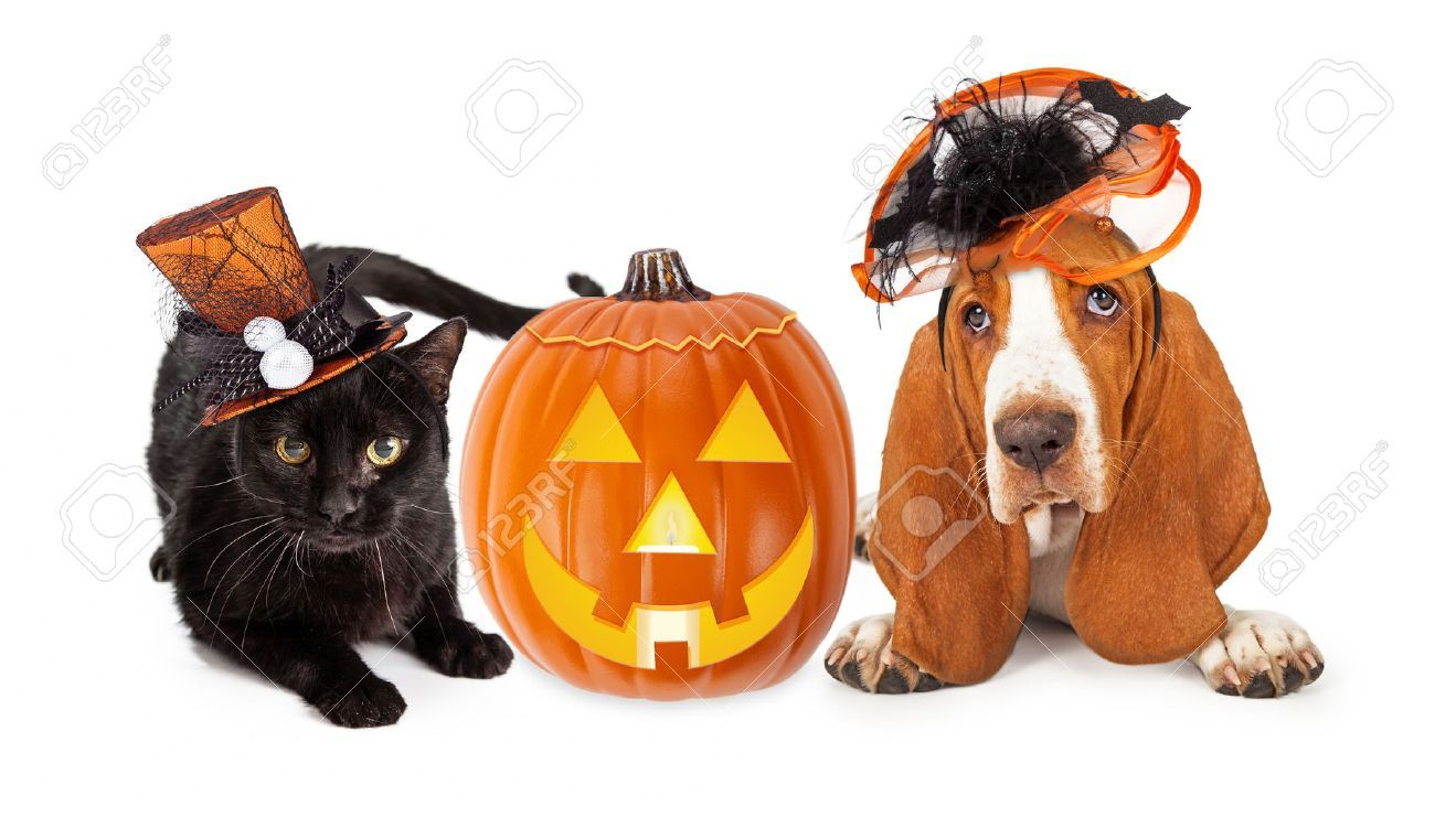 Cute black kitten and Basset Hound dog wearing funny and fancy Halloween hats laying with an illuminated jack-o-lantern pumpkin , #Aff, #dog, #Hound, #funny, #wearing, #black