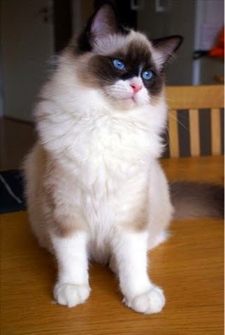 Sealpoint High Mitted Bicolor Ragdoll Cat Colors Cat Colors