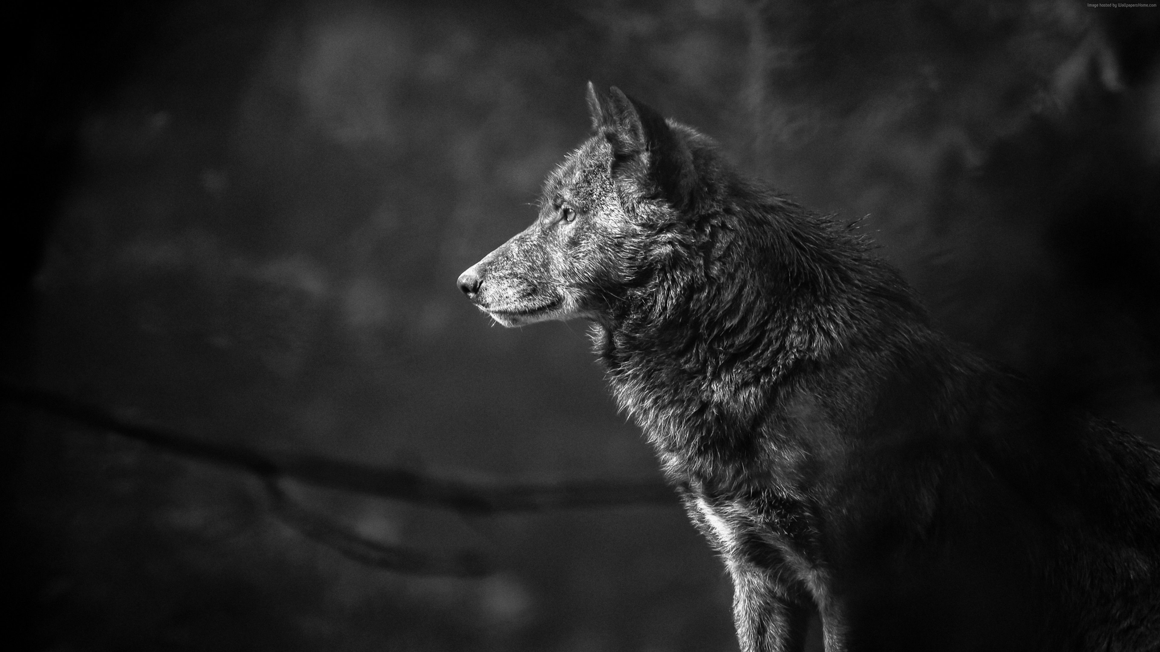 Pin by WallpaperLive on HD Wallpaper in 2019 Wolf