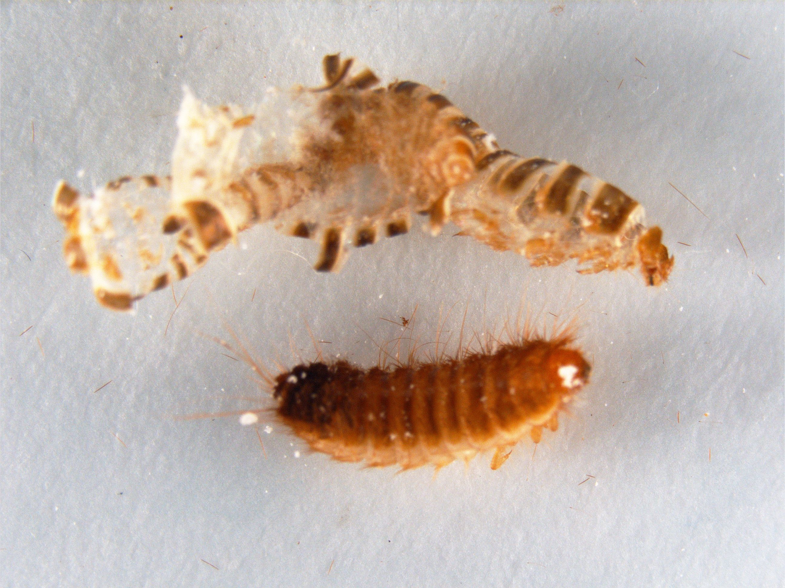 How To Get Rid Of Carpet Beetle And Their Larvae With Images