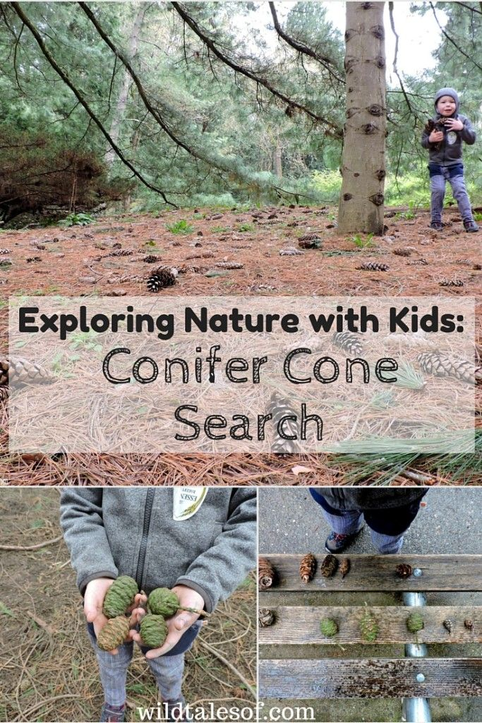Exploring Nature With Children Diy Nature Explorer Packs: Exploring Nature With Kids: Conifer Cone Search