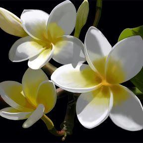 Jardin Et Fleurs Jasmin Fleur Flowers Pinterest Beautiful