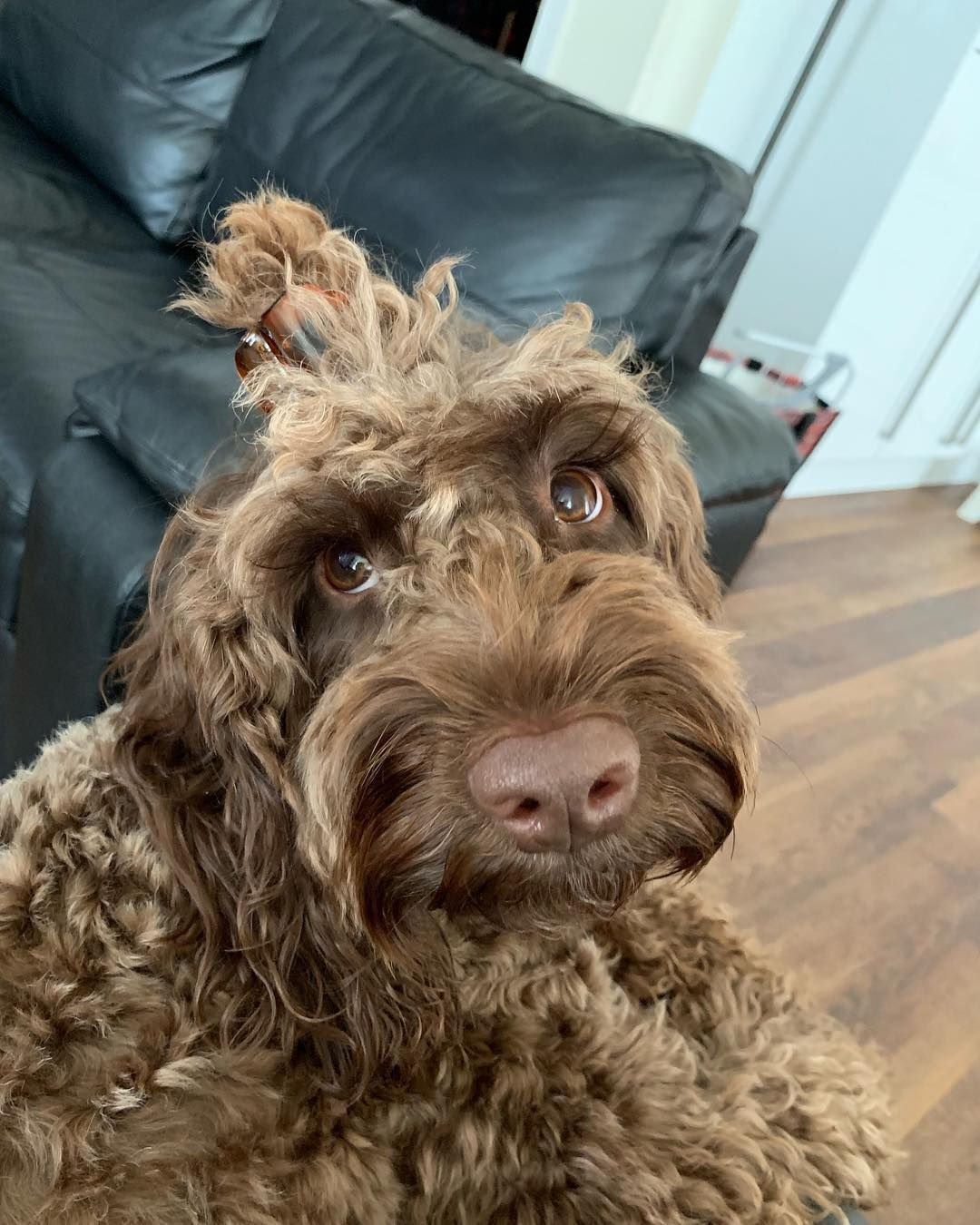 New The 10 Best Home Decor With Pictures I Know My Hair On My Noggin Is So Long Mum For A Laugh Cli Sproodle Puppies Cockapoo Puppies Springer Puppies