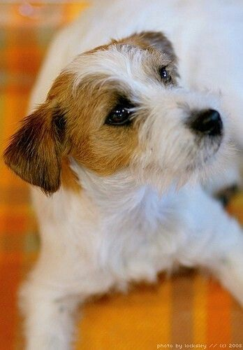 Rough Coat Jack Russell Terrier They Are Such Characters