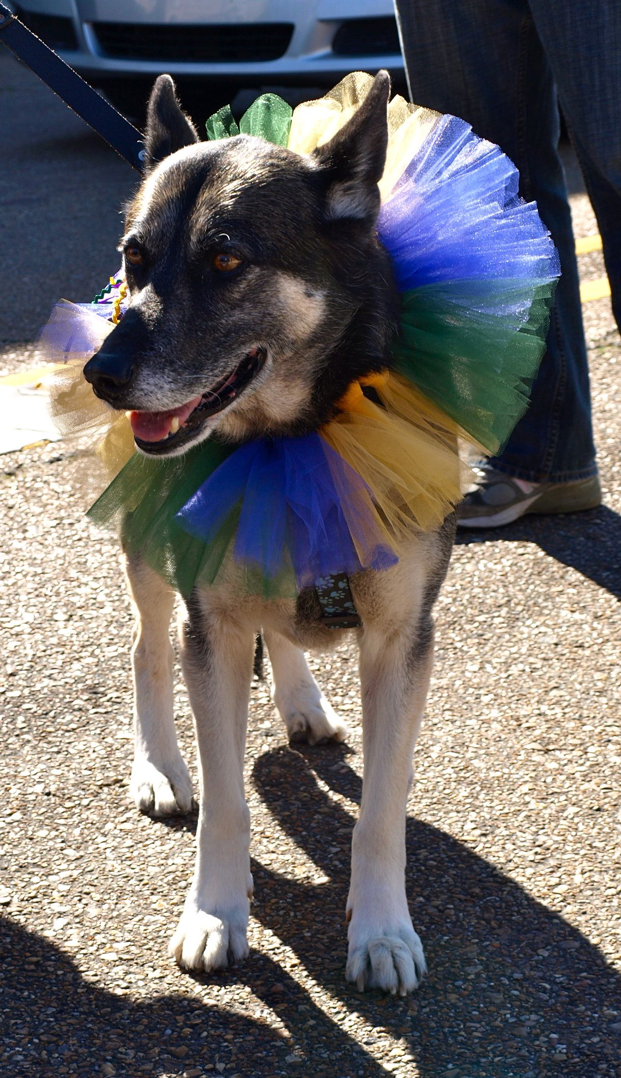Krewe Des Chiens Parade For Dogs During Carnival I M From The