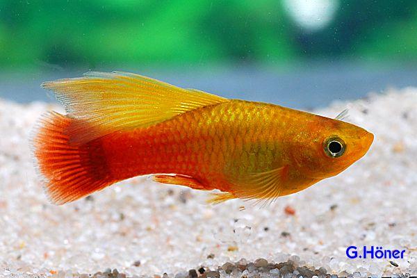 Platy Papageienplaty Simpson Foto G Honer Fish Pet Fish Tank Fresh Water Tank