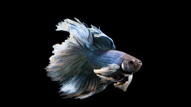 4 Jenis Ikan Cupang Bernilai Tinggi Dan Langka | BETTA ...