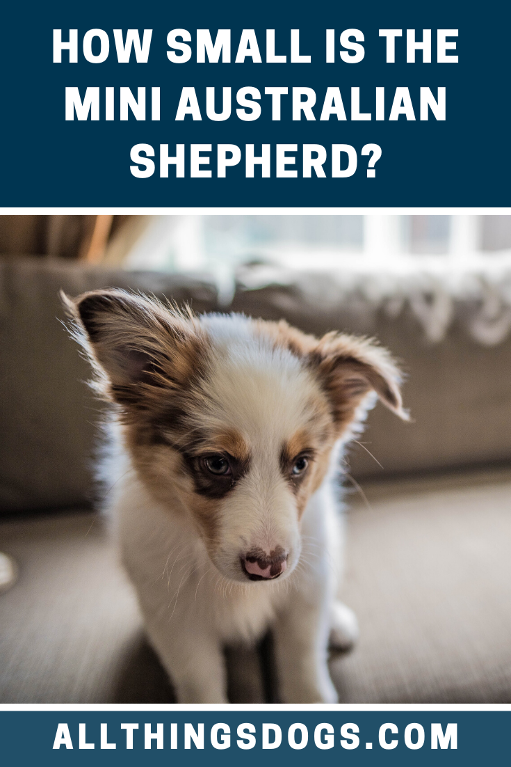 Generally Considered To Be A Small To Medium Sized Dog The Mini Australian Shepherd In 2020 Australian Shepherd Australian Shepherd Dogs Australian Shepherd