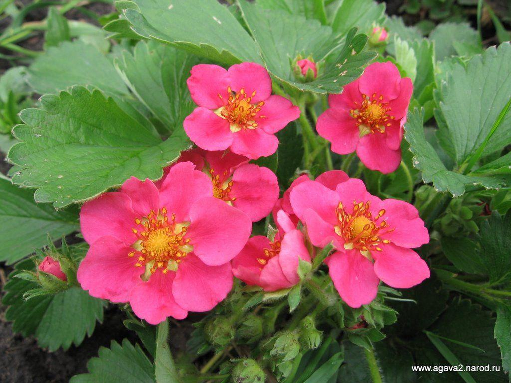 Ornamental Strawberry Fragaria Pink Panda Groundcovers