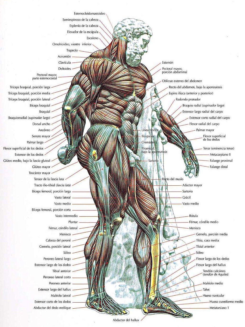 Guía de los movimientos de musculación: descripción anatómica. 6ª ed ...