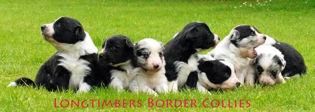 Kc Reg Pedigree Border Collie Puppies Black White For Sale In South Hams Devon South West Collie Puppies Border Collie Puppies Puppies