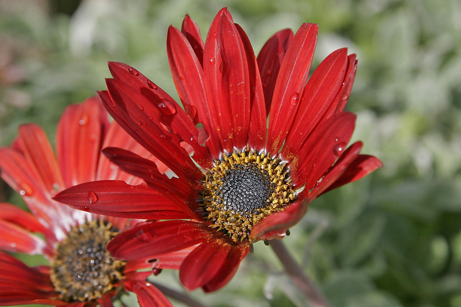 Arctotis It Is A Daisy Like Flower That Has Asilvery Underside