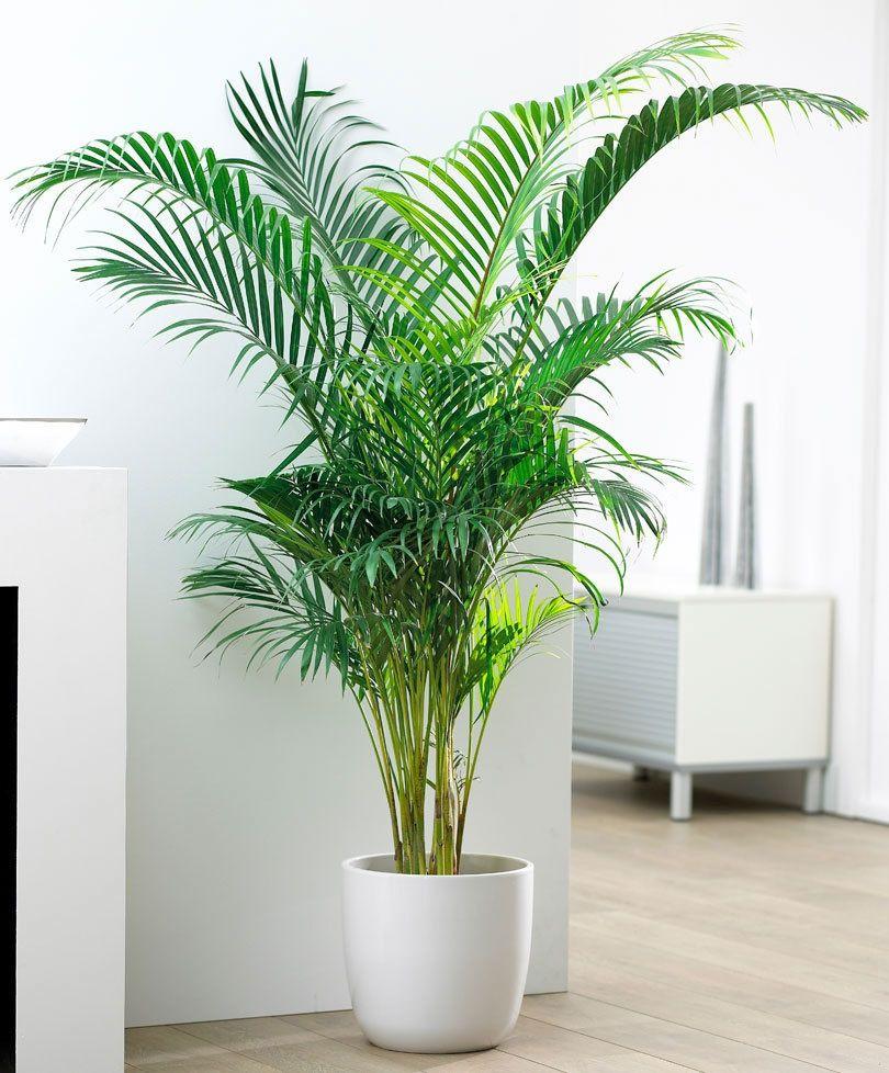Palma Areca | Plantas de interior, Decoracion plantas, Plantas