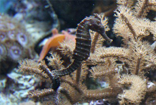 seahorse, cavalluccio marino, under the sea, oceano, ocean, sotto al mare, fondale marino, creature marine, colori, wonderful, colour, mare, sea,