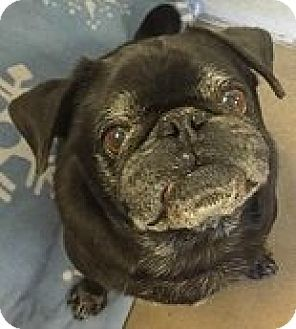 Pin By Allison Woods On Pets In Need Of A Home Pugs For Adoption