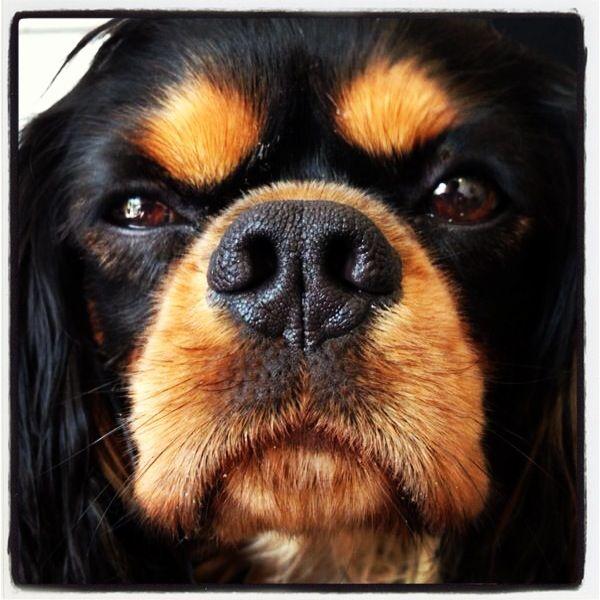 Doggity pup Wilbur #ckcs
