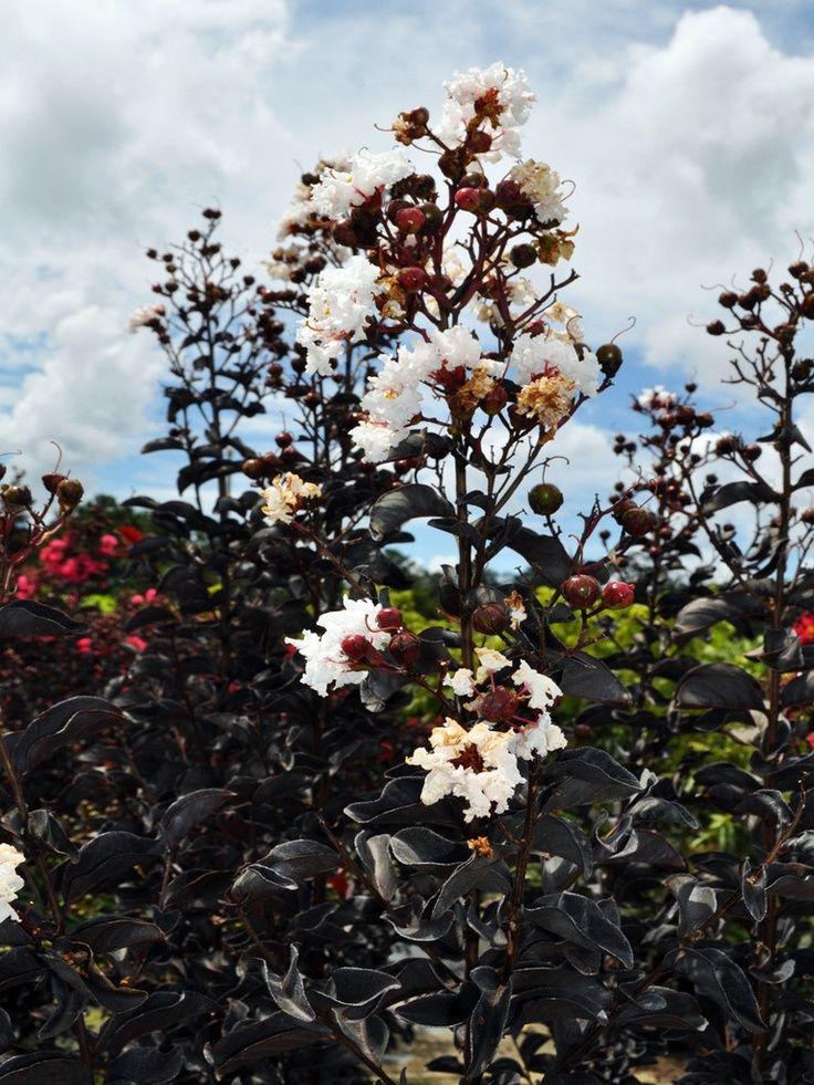 Crape Myrtle Black Diamond For My Gardens Plants