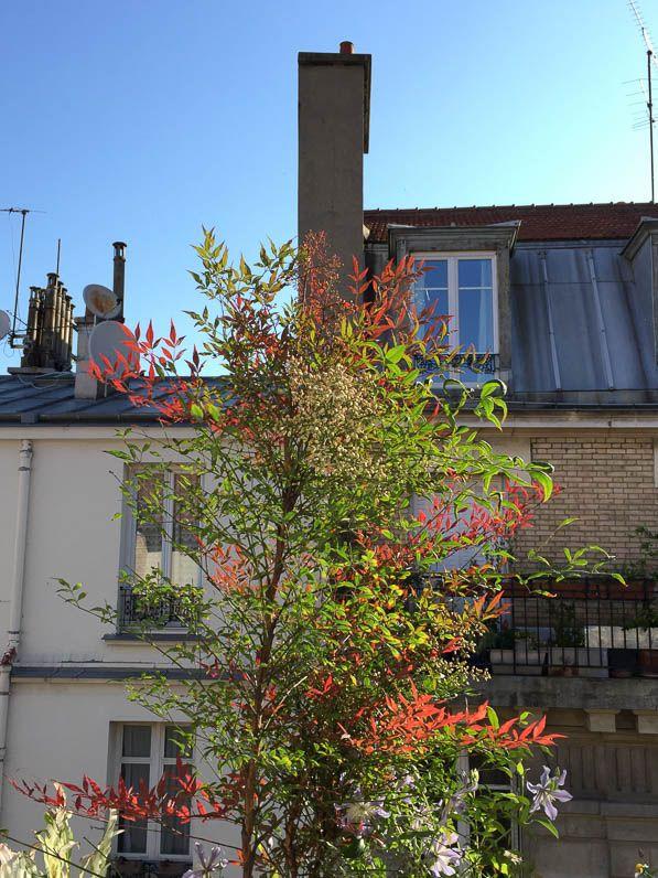 bambou sacr nandina domestica 39 gulf stream 39 sur mon balcon parisien en d but d 39 t paris 19e. Black Bedroom Furniture Sets. Home Design Ideas