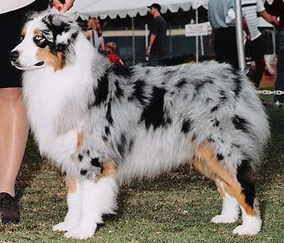 Australian Shepherd Breeders Utah Aussie Dogs Australian