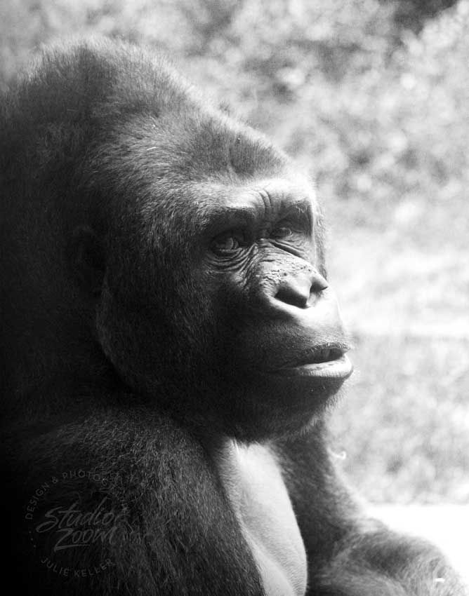 A stunning shot of a Western Lowland Gorilla. I love his expression!