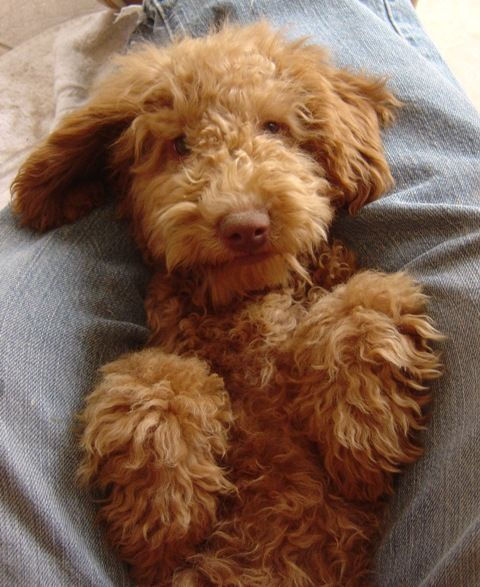 I Don T Know How Much Longer I Can Go On Without This In My Life Puppy Kisses Labradoodle Puppy Labradoodle