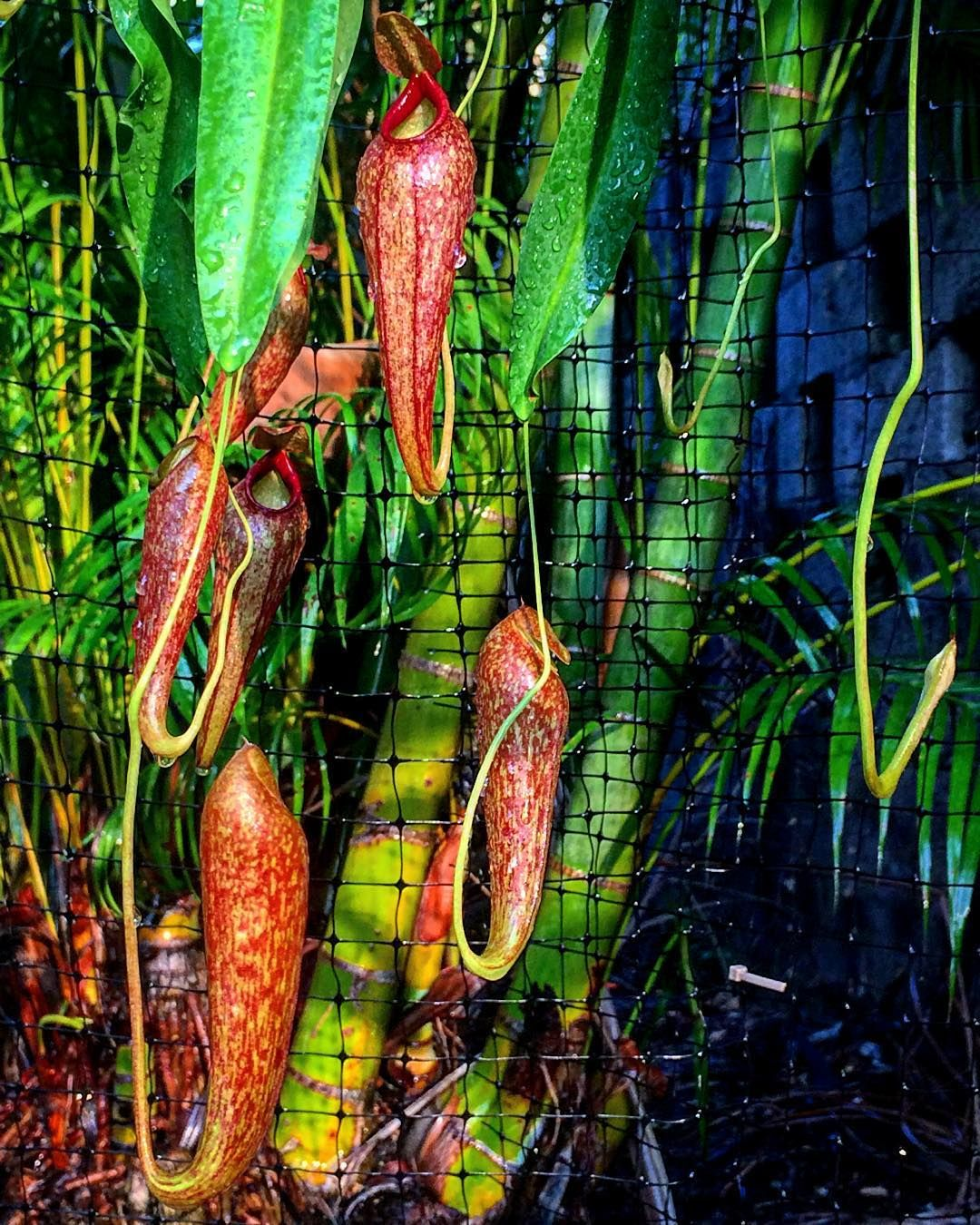 Nepenthes (thorelii x aristolochioides) #nepenthes #pitcherplants #carnivorousplants #carnivorousplantnerds #carnivorousplantsofinstagram #plants #plantascarnivoras #rareplants #botanical #horticulture #nature #garden #californiacarnivores @california_carnivores by ricardodeycaza
