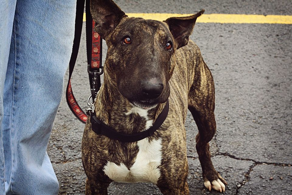 My Name Is Nitro I M A 2 Year Old Bull Terrier Male I Love All