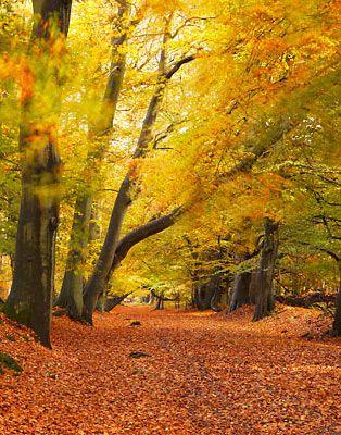Golden Hues Of Autumn, Ashridge Estate, Hertfordshire, England