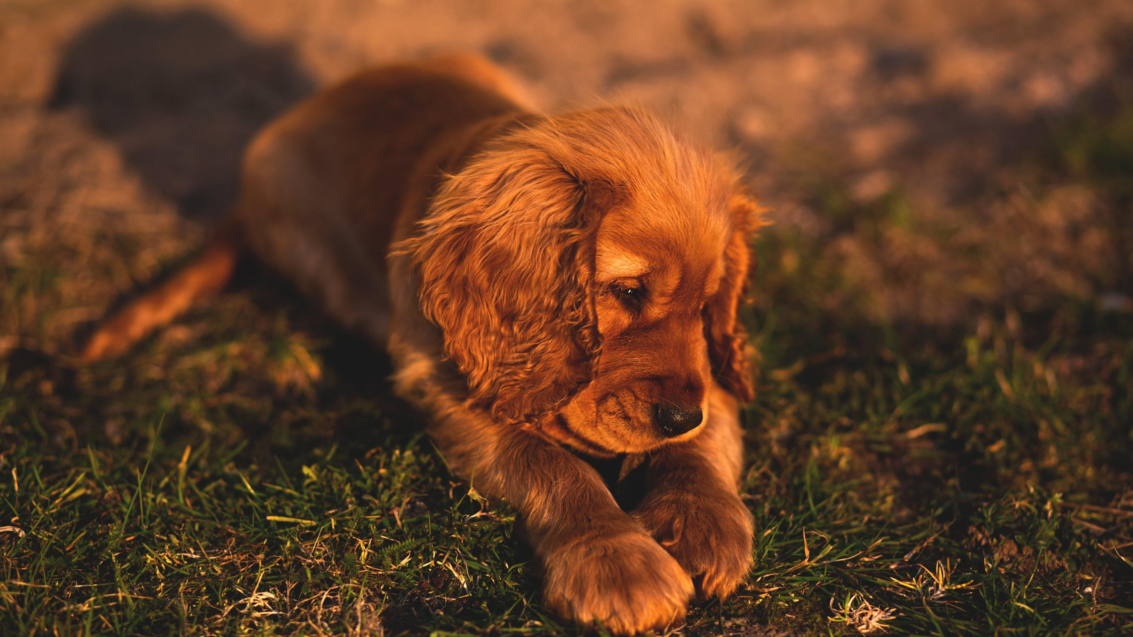 Spaniel Dog Wallpapers Photo Cocker Spaniel Puppies Dog Breeds Pet Dogs Puppies