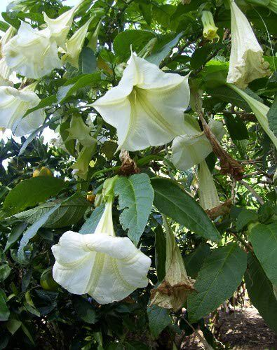 The appropriately named Angel's Trumpet tree.