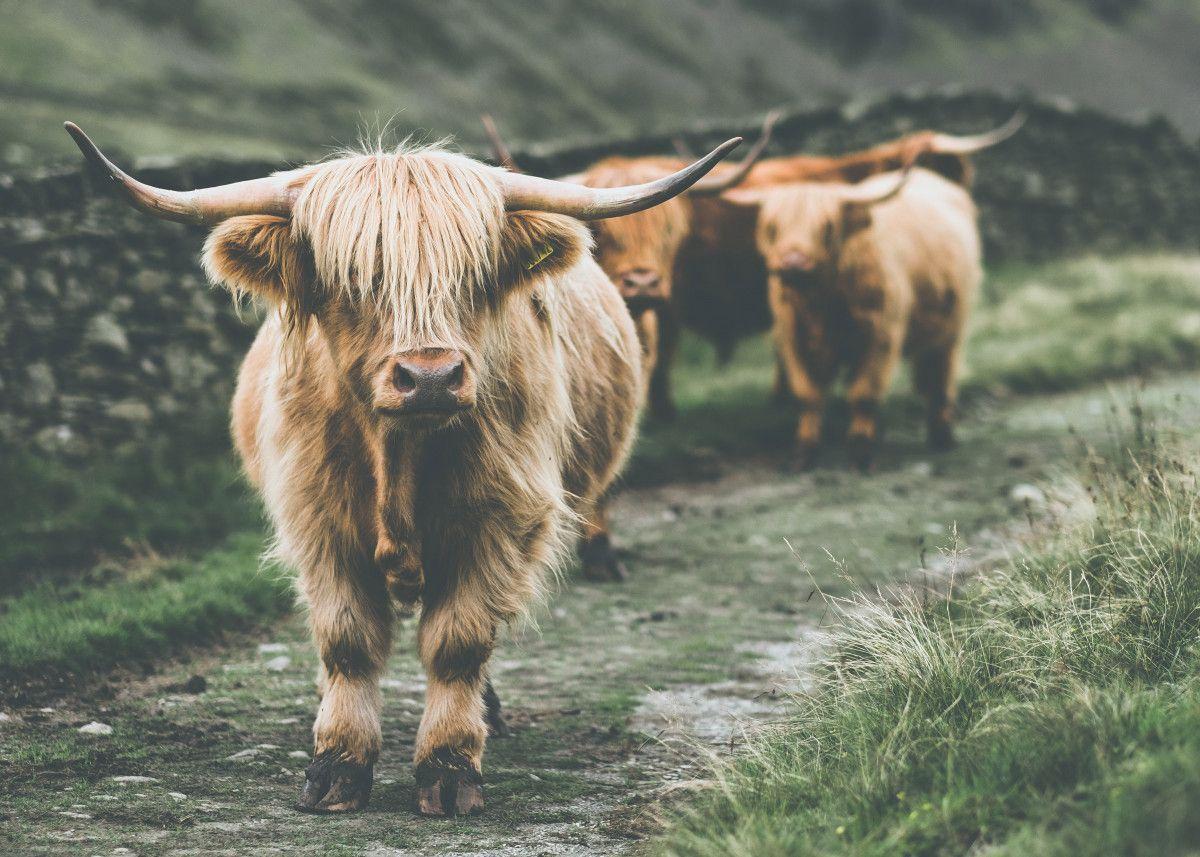 Highland Cow Calf Scotland Farming Bull HD POSTER