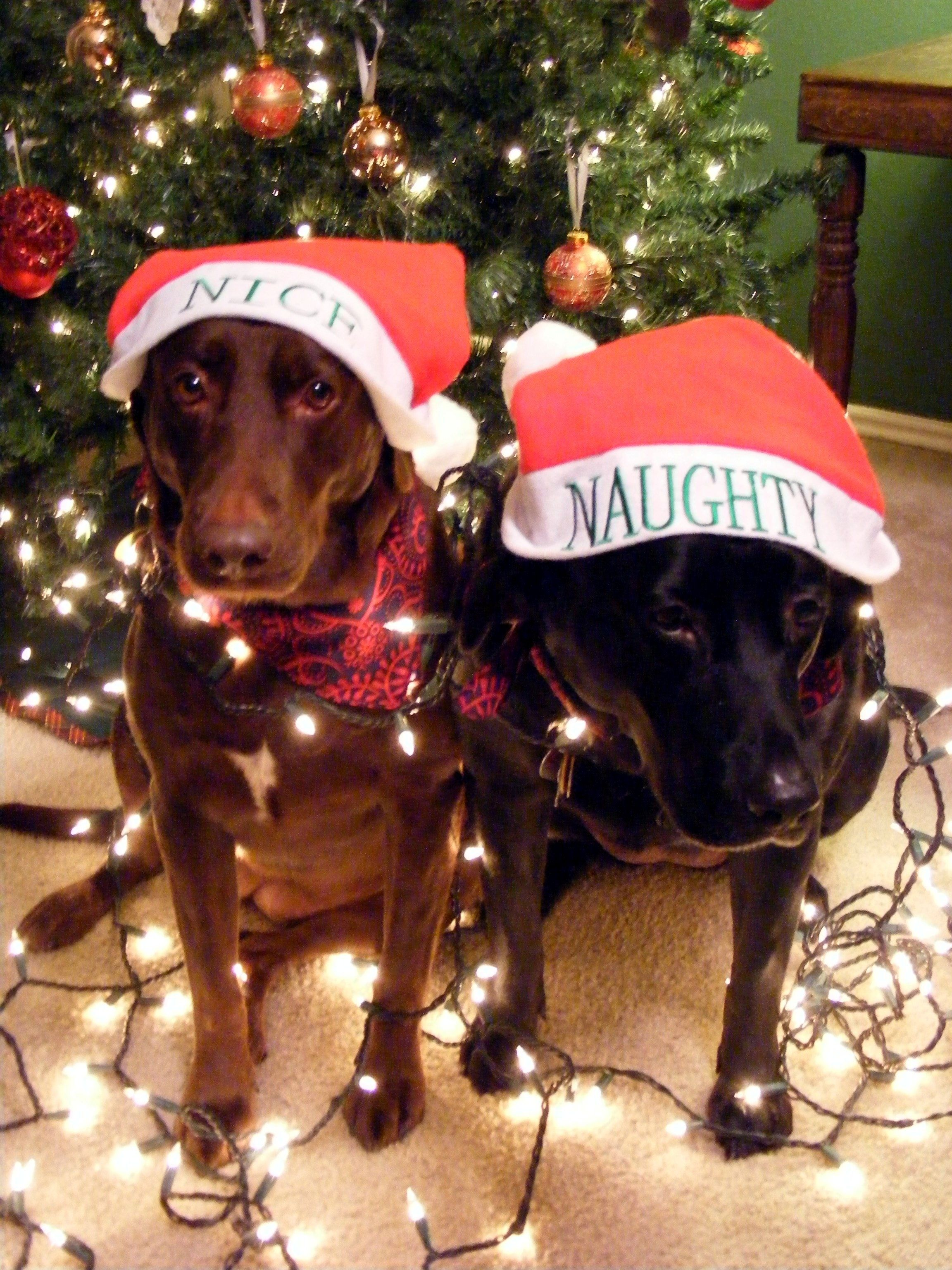 My dog Bella & Chloe for our christmas lights card idea 2010. | My ...