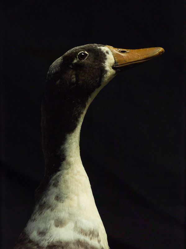 Wonderful and even moving portraits of Fowl by Paul Lange
