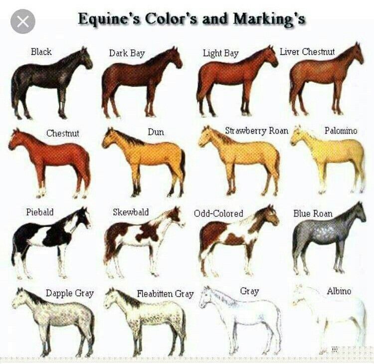 Basic horse colors found on equitation isfurg also pin by rocio anaya info color confirmation height ext rh pinterest