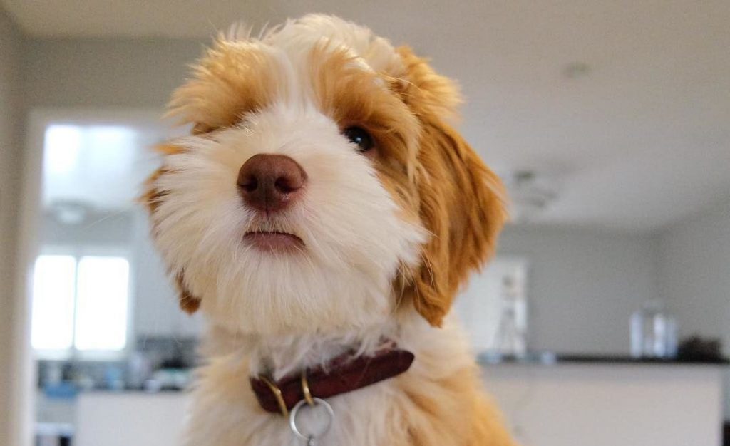 Aussiedoodle 12 Surprising Facts You Should Know About
